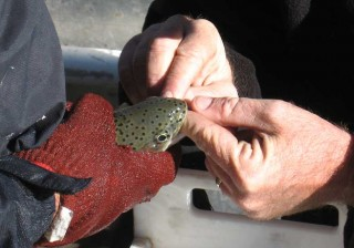 NM Game and Fish Biologists free a trout of an embedded hook.