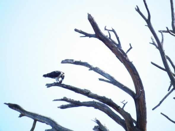 Osprey eating a fish in a tree