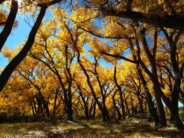 Cottonwood trees bearing bright yellow leaves during the fall months.