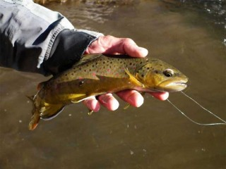A beautifully colored Brown trout caught in the Arroyo Hondo near Taos.