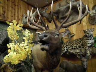 An elk mount at American Wildlife Taxidermy on Central Ave. in Albuquerque, New Mexico.