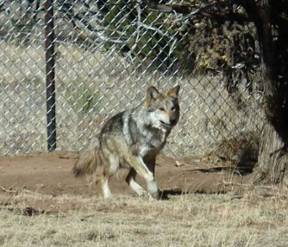 A wolf at Wildlife West Nature Park in Edgewood, New Mexico.