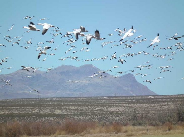Snow geese take flight at the Bosque del Apache in New Mexico.