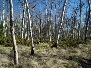 he thick stands of Aspen trees around Brewery Creek must be a sight to see in the fall.