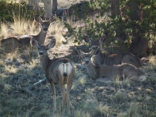 Mule deer bedded down for the day near the Brewery Creek cabin.
