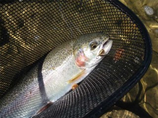 Trout caught on a Fisher-Chick single, barbless, spinning lure.