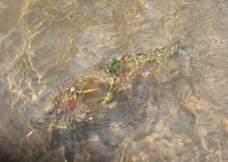 A San Juan River brown trout lurks in the depths.
