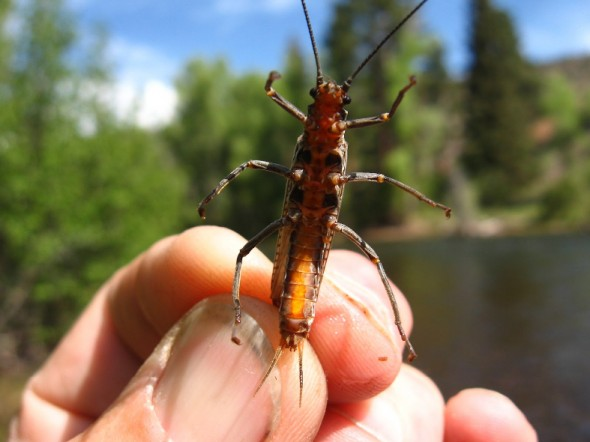 A big, nasty stone-fly found on the banks of the Conejos River.