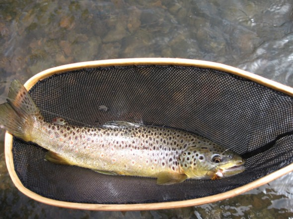 brown trout in a net