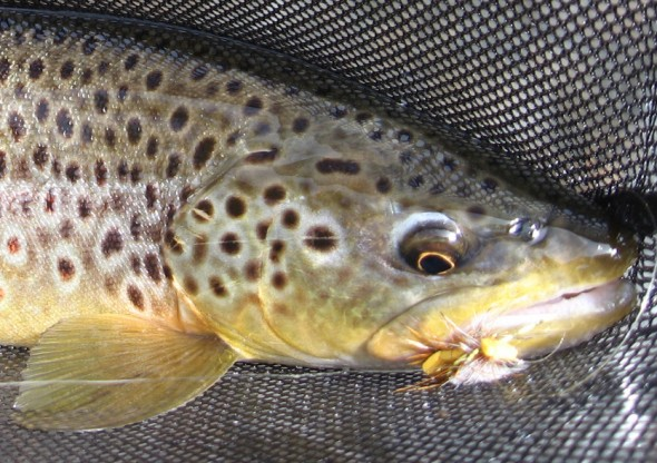 trout in net with fly in mouth