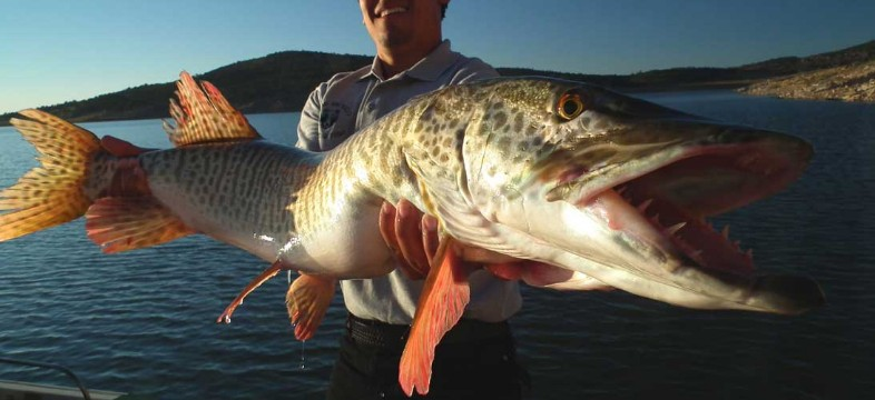 man shows off tiger muskie