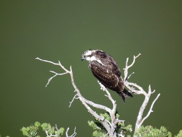 osprey in tree by lake
