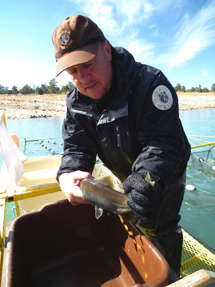 Shawn Green of the NMDGF milks a salmon during the annual operation at Heron Lake in Nov. 2011.