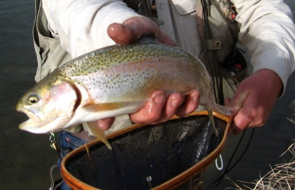 An angler displays a Rainbow trout  in his hand.