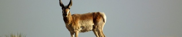 A Pronghorn buck.
