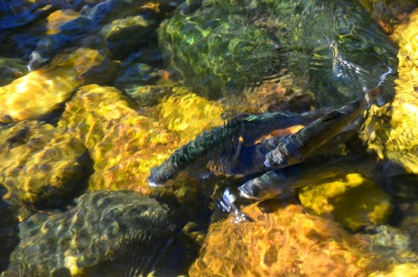 trout in river