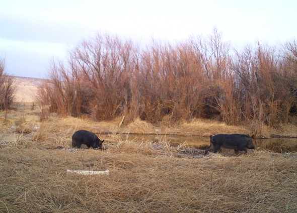 wild hogs in a riverbed