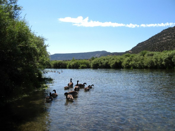 geese enjoying some shade on the back channels of the San Juan river below Navajo Dam.