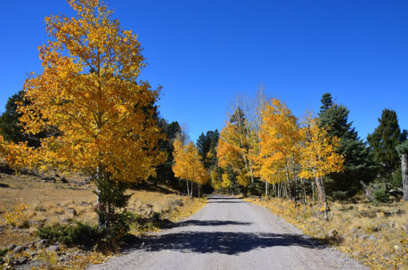 fall aspen trees on road to Lagunitas CG